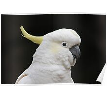 Sulfur Crested Cockatoo Poster