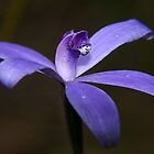 Silky Blue Orchid by orpheus