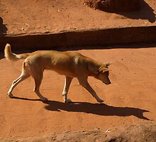 DINGO - Aussie Icon by Colin Van Der Heide