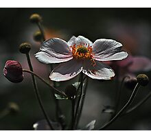 August Flowers ~ Anemones Photographic Print