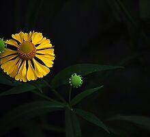 August Flowers ~ Dogtooth Daisy by Joanne  Bradley