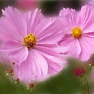 Pink Cosmos.... by Patriciakb