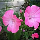 Lavatera...... by Patriciakb