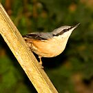 Nuthatch by dsargent