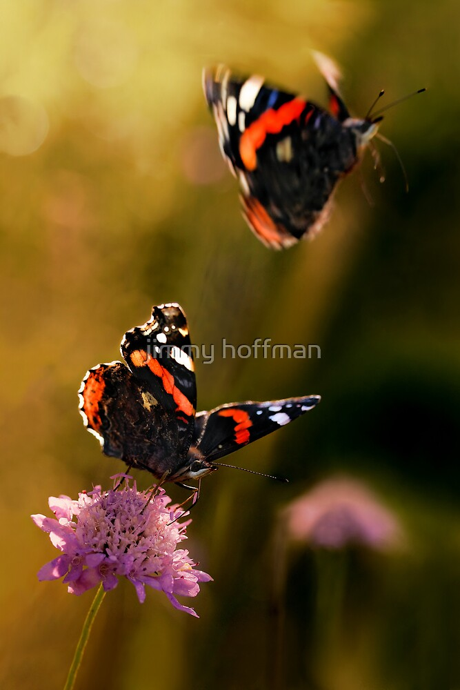 Vanessa atalanta by jimmy hoffman