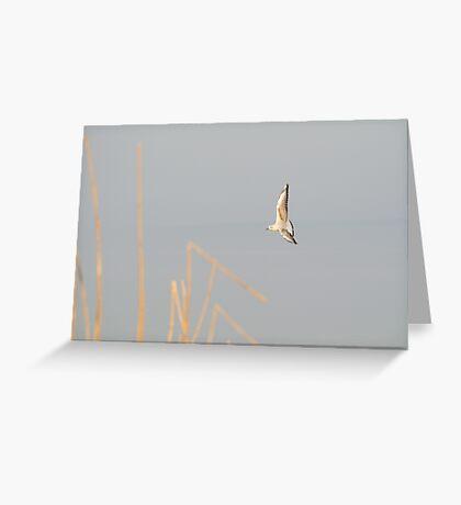 Black-headed Gull in Winter Plumage Greeting Card