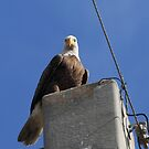 The Bald Eagle Stare by kathy s gillentine