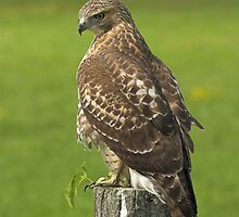 Red-tailed Hawk by Wayne Wood