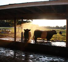 Belted Cows Hit The Shower by Jonathan  Green