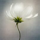 Clearly cosmos by Mandy Disher