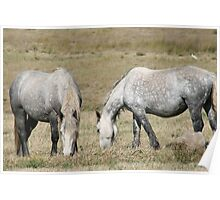 Percheron mares Poster