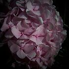 Hydrangea in the spot light by Yanira Greener
