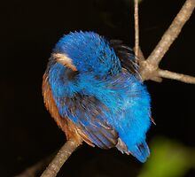 Azure kingfisher sleeping (Tara Ridge) by Steve Axford