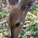 Female Bushbuck Close Up by Michael  Moss