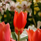 Tall Tulip by Nick Bellette