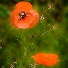 Poppy love by Louise Cooke