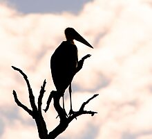 Marabou Stork by Jared Bloom