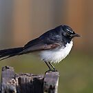 Willy Wagtail by Tina Dial
