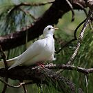 Sacred White Dove by kathy s gillentine
