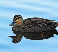 Little Black Duck by Ann  Van Breemen