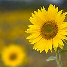 Sunflowers by Carole Stevens