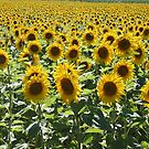 Sunflower Summer by Pamela Jayne Smith