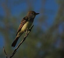 Great Crested Flycatcher by kathy s gillentine