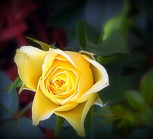 Romance of the rose by Karen Cook