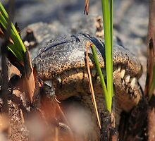 hiding in the swamp by kathy s gillentine