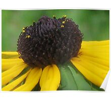 Black-eyed Susan (Rudbeckia hirta) Poster