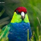 Red-Capped Parrot by Malcolm Katon