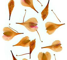 Pressed petals by Heather Thorsen