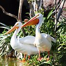 White Pelicans by longaray2