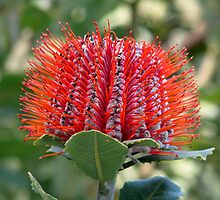 Banksia coccinea by Robert Jenner