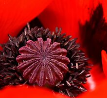 The Heart of a Poppy by karina5