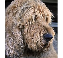 ..an otterhound.. Photographic Print