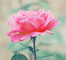 Think Pink Rose by ©Maria Medeiros