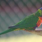 birds, parrot by columboola