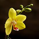 orchid by AravindTeki