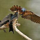 Feeding Swallows by Kenneth Haley