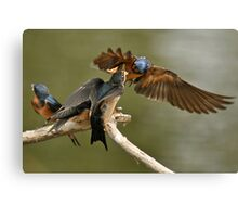 Feeding Swallows Canvas Print