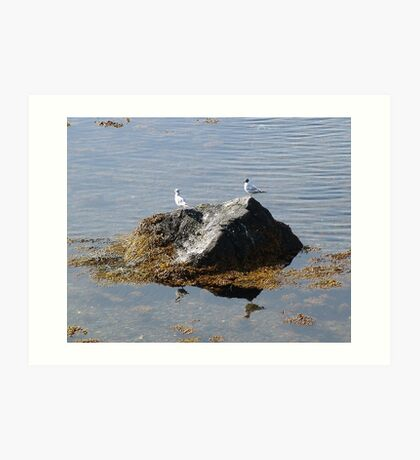 Gulls On A Rock Art Print