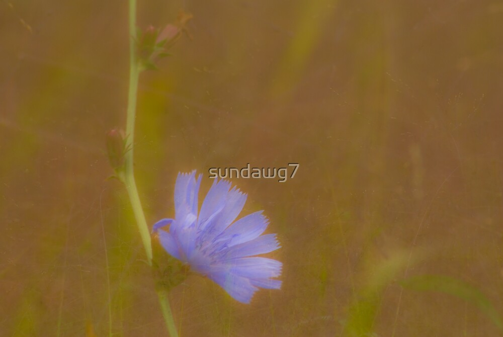 Mystic Chickory by sundawg7