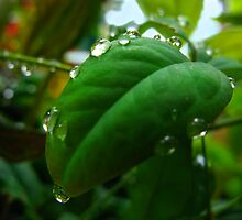 leafdrops by Tania  Donald
