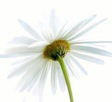 White Daisy by Paula McManus
