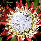 King Protea by Sprinkla