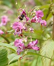 A Bee and Himalayan Balsam by Ryan Davison Crisp