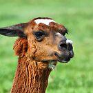 Portrait of a Beautiful Llama by Teresa Zieba