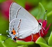 Gossamer Winged Butterfly by Ruby  Pen