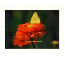 Cloudless Sulphur Butterfly on a Red Zinnia Art Print